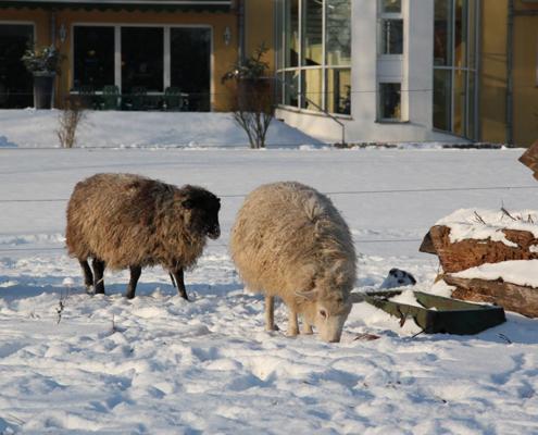 2 Schafe vor dem Landhotel Löwenbruch im Winter
