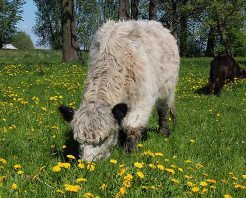 Auf der Wiese beim Landhotel Löwenbruch geniessen Galloway Rinder das saftige Gras