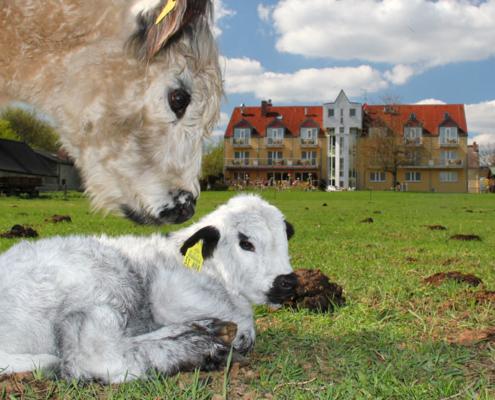 Das Landhotel Löwenbruch und seine Galloway Rinder
